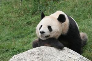 Google-Panda-4.1