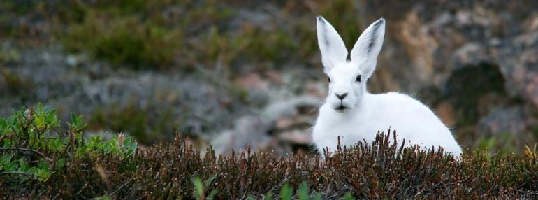 arctic-hare-828994_1920.jpg